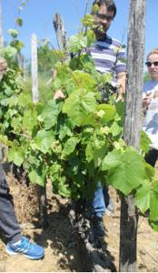 vinograd-ozalj